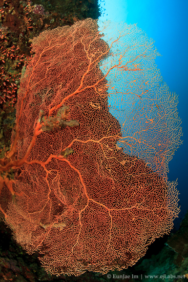 Gorgonian at Sumilon island_Liloan_Jan-13-17.jpg